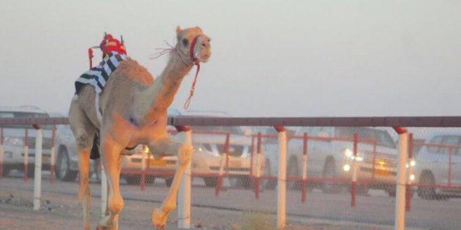 غدا.. مهرجان للهجن في جعلان