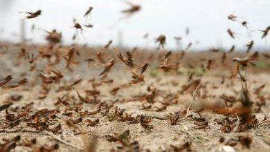 Photo of الزراعة تصدر توضيحًا حول الجراد الصحراوي في الشرقية