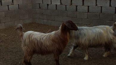 Photo of مسؤول في الزراعة يؤكد: كميات كبيرة من الحيوانات الحية ستتوفر قبل العيد