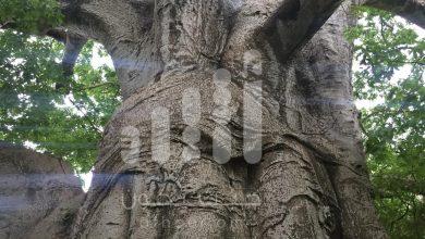 Photo of بالصور: مواطن يوثّق رسومات مثيرة وأشكالًا غريبة على  شجرة عملاقة عمرها أكثر من 2000 عام