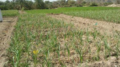 Photo of دراسات تكشف نتائج مهمة عن الزراعة في الباطنة وتوصي باستئجار المزارع من قبل الشركات
